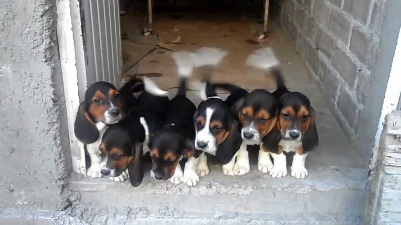 cruza de basset hound y beagle - YouTube
