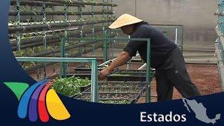 Desde hace 3 años cultiva lechugas hidropónicas | Noticias del Estado de México