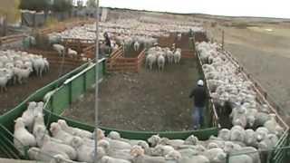 Apartando 4200 ovejas-Ea. Chali Aike-Santa Cruz-Patagonia Argentina thumbnail