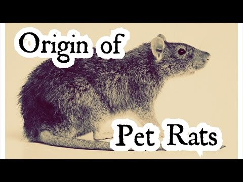Rattiepedia | The Ultimate Guide to Pet Rats