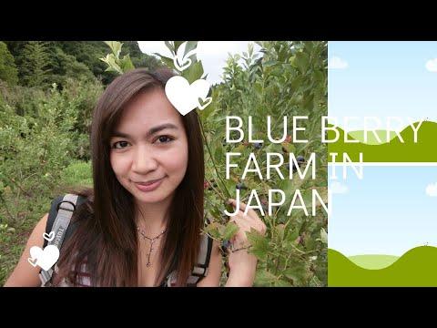 blueberry farm in japan