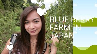 blueberry farm in japan