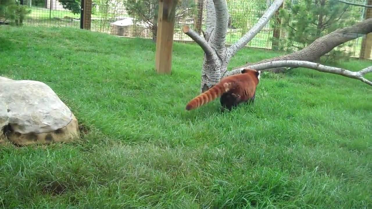 Red Panda at Tanganyika Wildlife Park