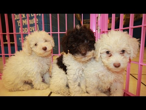 Toy Poodle, Puppies For Sale, In Knoxville, County, Tennessee, TN, 19Breeders, Murfreesboro, Jackson