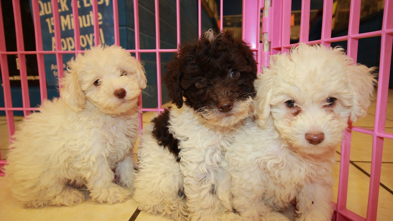 Toy Poodle Puppies For Sale In Knoxville County