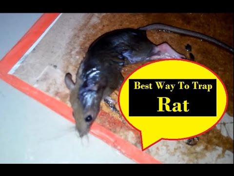 best way to trap rat youtube. Black Bedroom Furniture Sets. Home Design Ideas