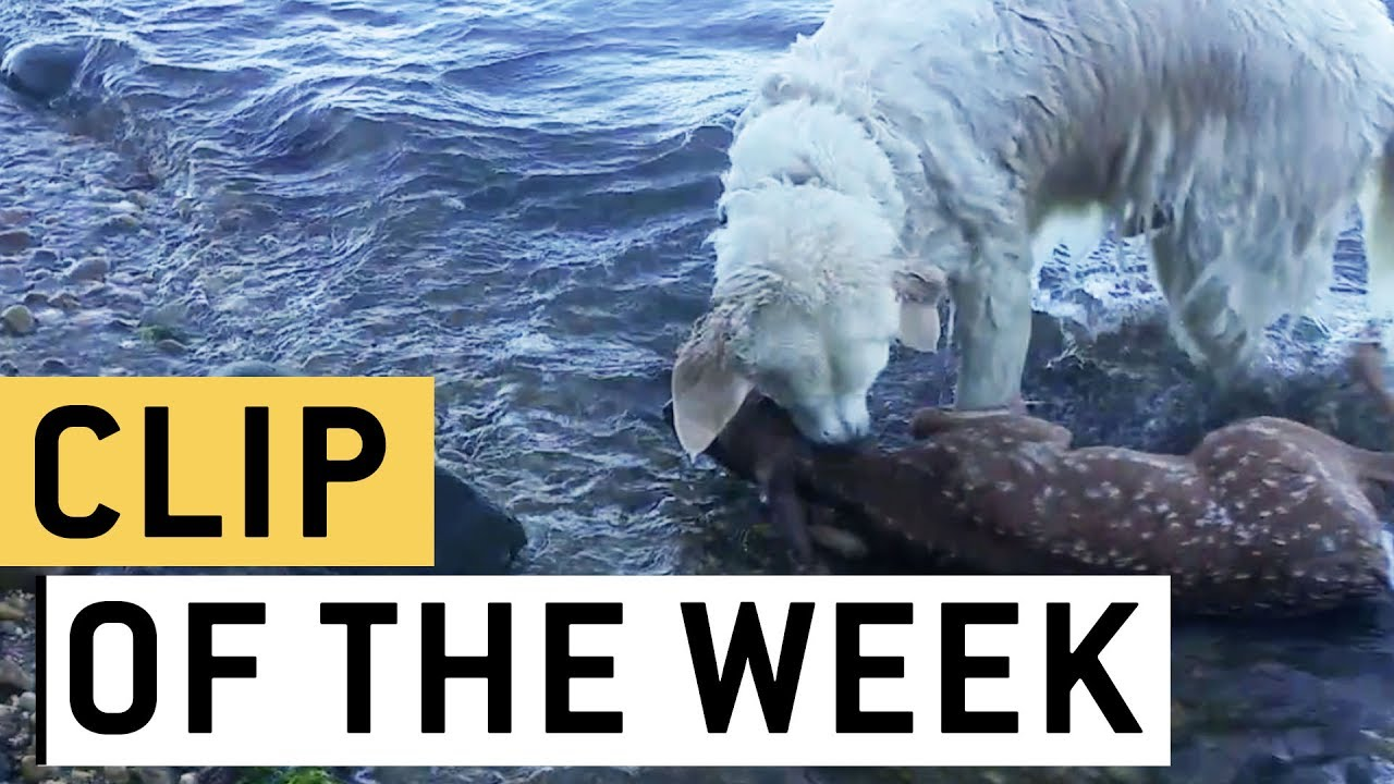 Brave Dog Rescues Baby Deer From Drowning | Good Boy Storm