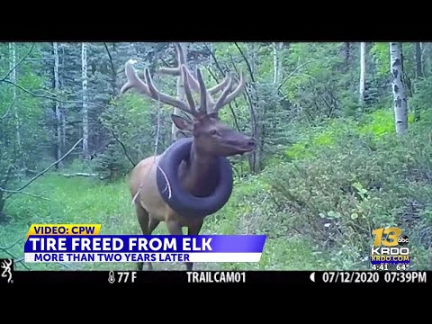 Colorado-bull-elk-with-tire-around-its-neck-for-years-finally-gets-relief