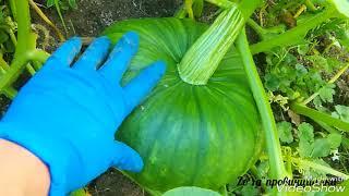 ТЫКВА!!! Выращивание тыквы, уход/Арбузы в открытом грунте/22.07.18 #арбуз #дыни#огород