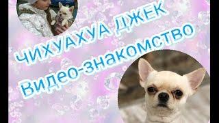 """Чихуахуа Джек""/ Видео-Знакомство"