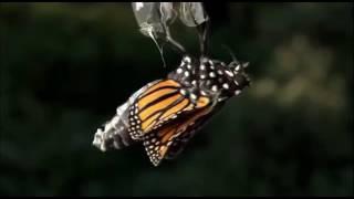 Гусеницы бабочки   YouTube 360p