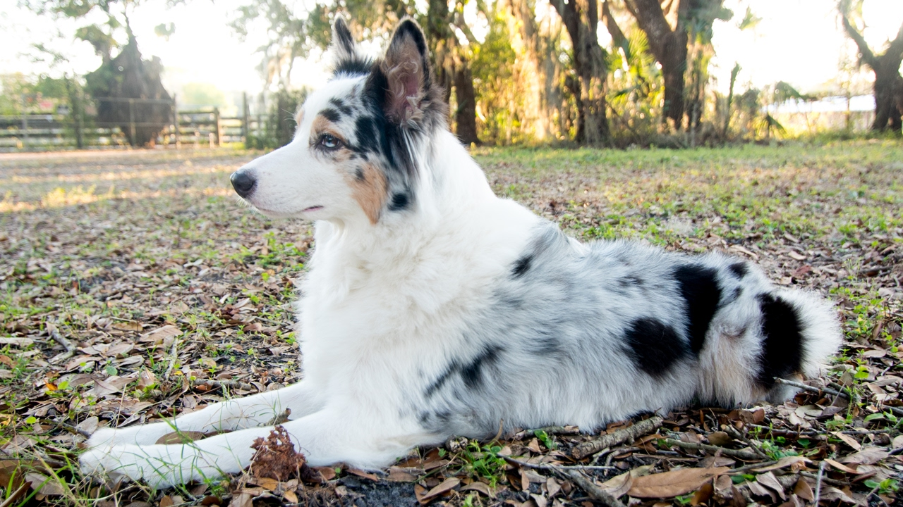 Australian Shepherd Q Amp A Why Do My Aussie S Ears Stand Up