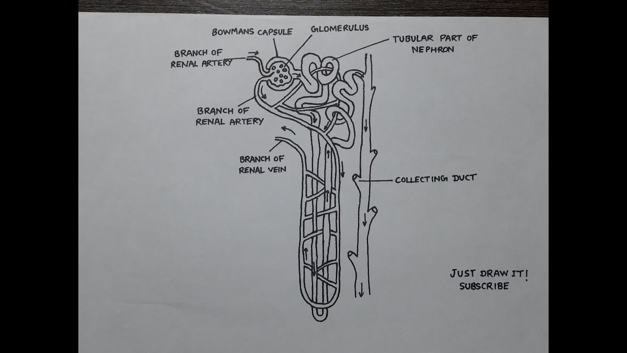 How To Draw Nephron Diagram Step By Step