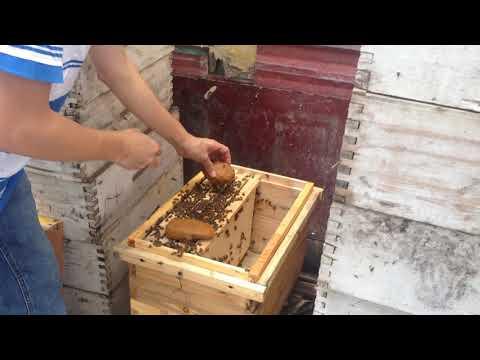 Kỹ thuật nuôi ong mật- Cho ong ăn bột thay thế phấn hoa.
