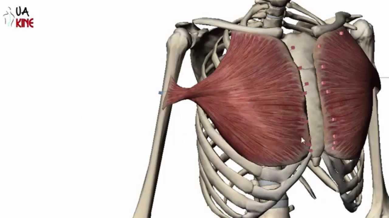 Anatomía Pectoral Mayor (Características) - YouTube