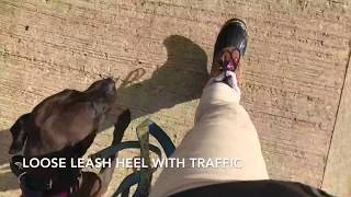 DAISY | Pit Bull Sharpei Mix | Small Dog Obedience | Incredible Dog | Off Leash K9 Training Maine