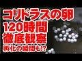 孵化の瞬間を収めた!?120時間【コリドラス】卵観察 の動画、YouTube動画。