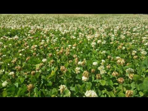 dutch-white-clover-lawns-are-the-bees-kneez