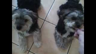 Niall Doorhy Dancer Teaching Two Morkie Dogs Ben And Jake How To Dance :)