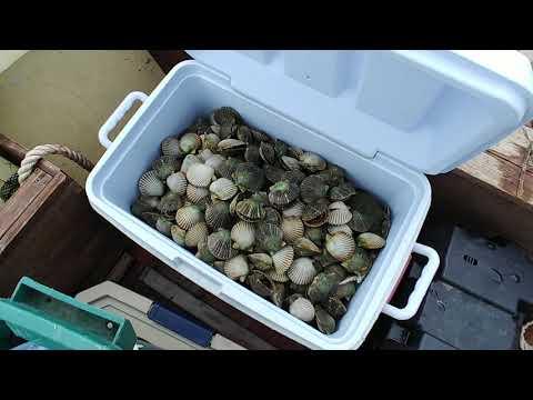How we clean fresh scallops