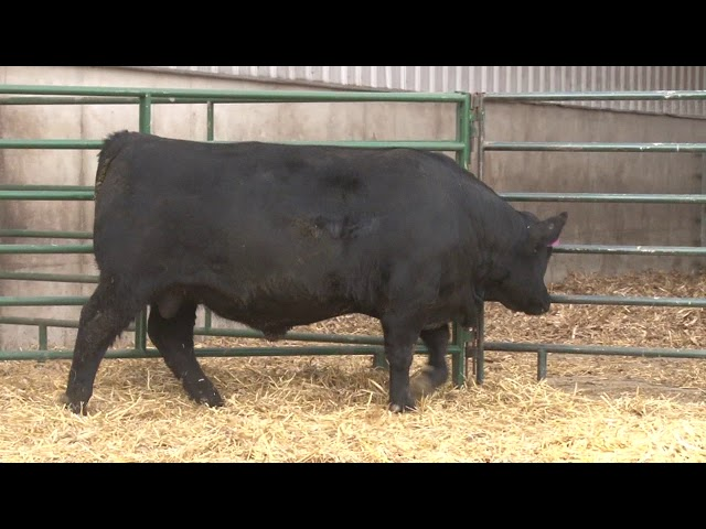 Schiefelbein Angus Farms Lot 70