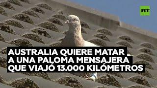 Australia quiere matar a una paloma mensajera que viajó 13.000 kilómetros a través del Pacífico