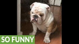 Rainy day makes Titon the Bulldog sad