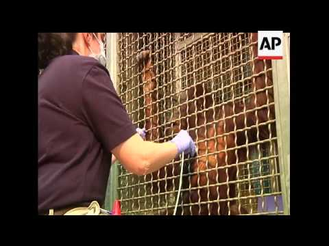 Heart disease is a leading killer of great apes in captivity. Atlanta''s zoo is home to the Great Ap