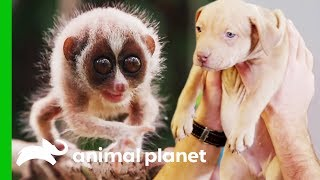 Meet Some Of Animal Planet's Most Adorable Baby Animals! (Compilation)