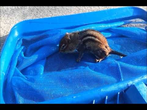 Saving a drowning chipmunk in my pool