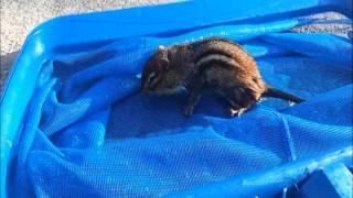 saving a drowning chipmunk in my pool