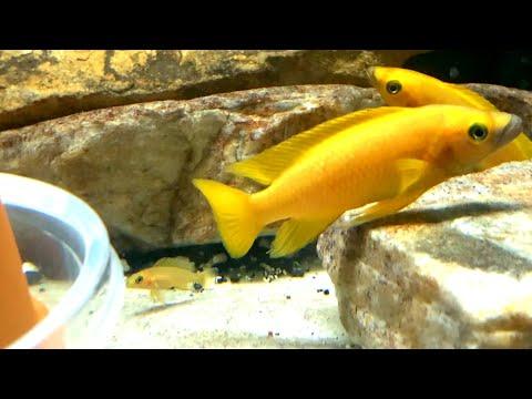 Lake Tanganyika Cichlid Tank - *STUNNING* 125 Gallon Aquarium Cichlid Community