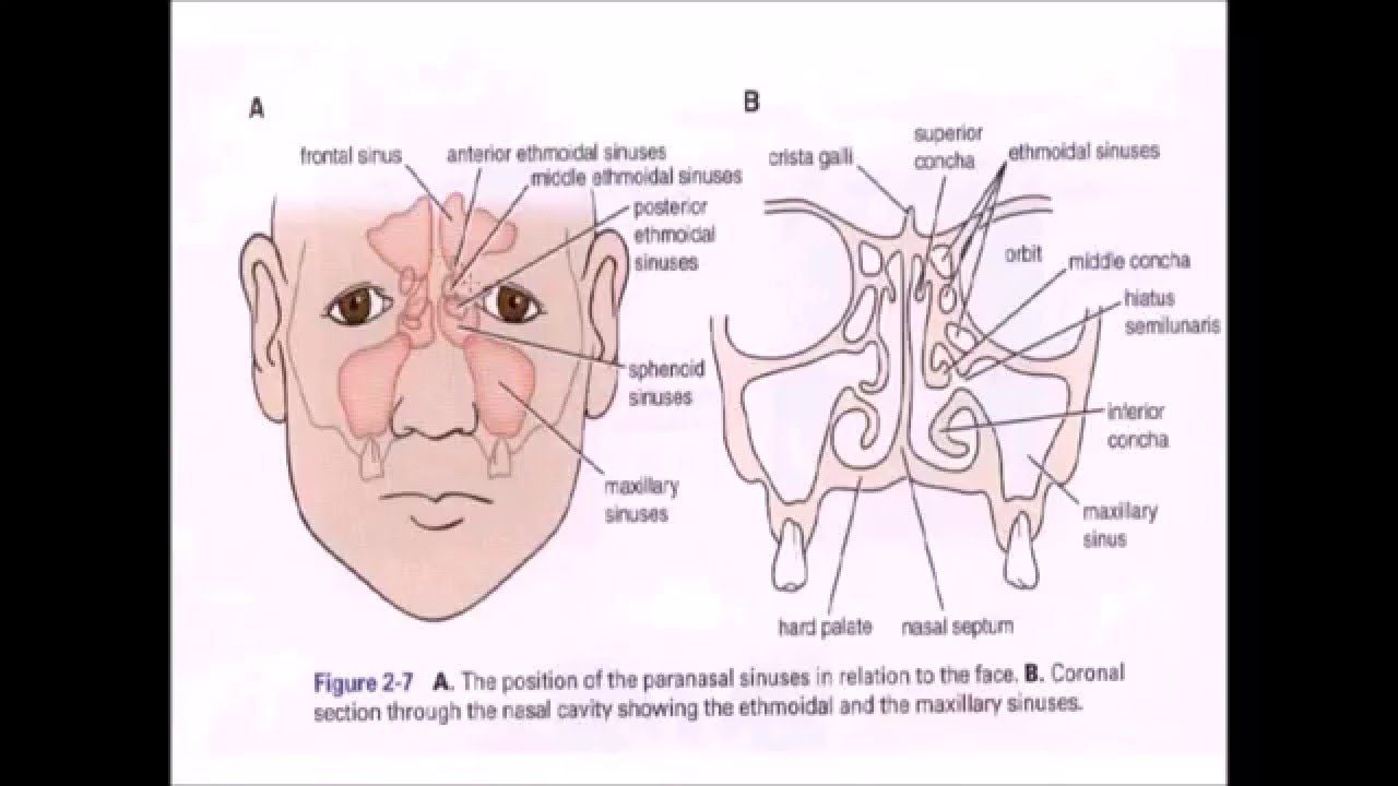 The Nose & The Paranasal Sinus - YouTube