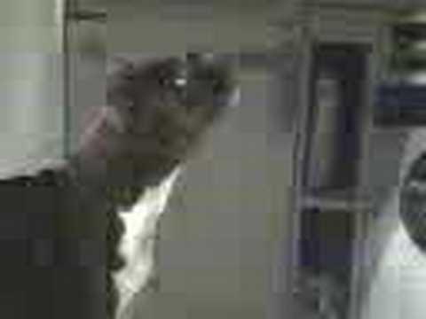 A pitbull dog and an heineken can...sounds good!