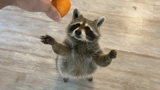 What Happens When you Give a Raccoon an Orange?