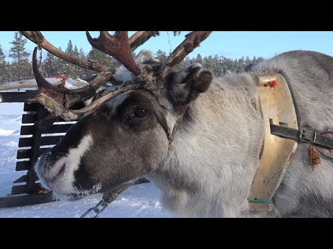 Lapland 2018 - Episode 6: Reindeer Farm