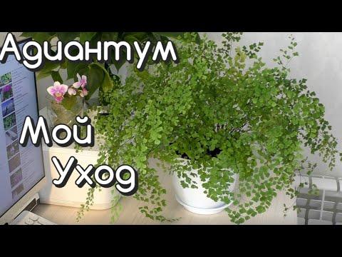 Комнатные растения / АДИАНТУМ Мой УХОД / ПЕРЕСАДКА в новый горшок