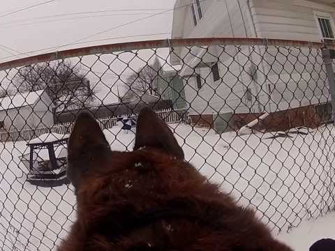 Dog K9 POV w/ GoPro Camera attached to Signature K9 Modular LLC Harness