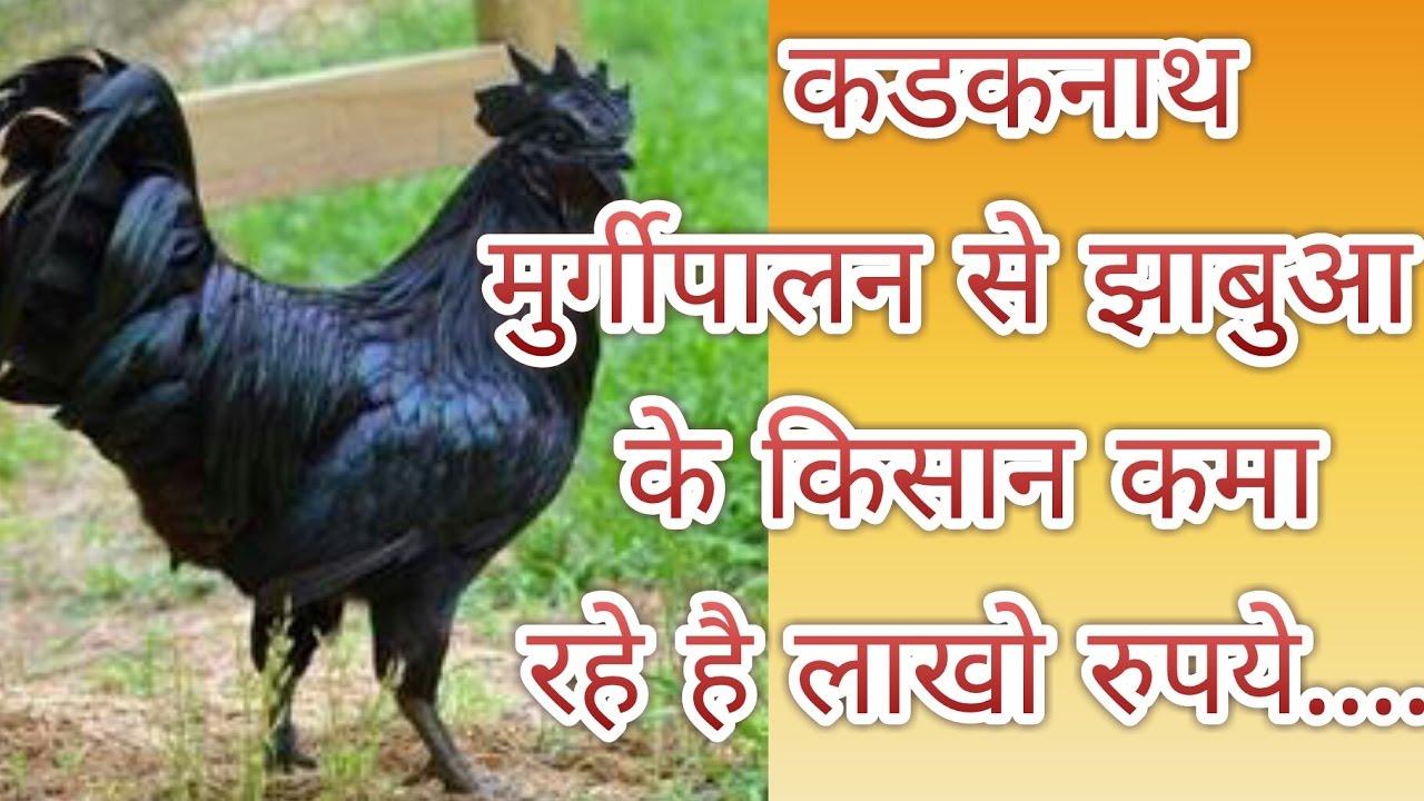 कडकनाथ मुर्गी पालन से झाबुवा के अदिवासी किसान कमा रहे है लाखो रुपये