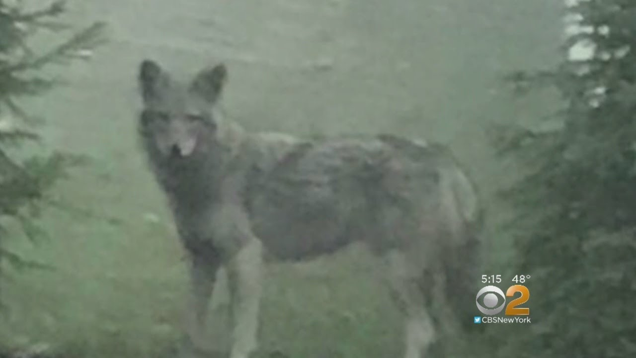 Unusually Large Coyote-Wolf Hybrid Seen Roaming Through Rockland County