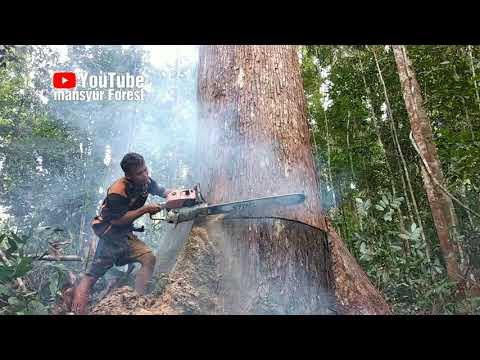 Pohon Bangkirai Ini Menyemburkan Air Begitu Lama