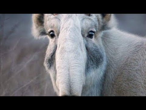 Saiga Antelope, amazing animal