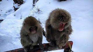 Jigokudani Snow Monkey Park 地獄谷野猿公苑  Nagano, Japan - Snow Monkey 1-Day Pass information scan