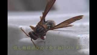 7月、寄生されたセグロアシナガバチの巣を働き蜂が放棄し、最期まで残...