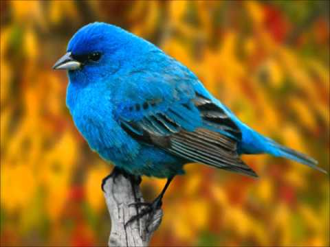 RELAX OR STUDY WITH NATURE SOUNDS: Indigo Bunting in the Forest