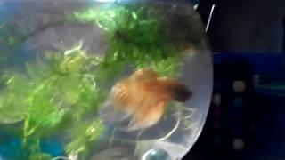 Betta fish/ бойцовская рыбка петушок