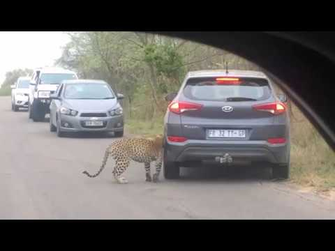 Leopard male marking territory by rubbing itself against a vehicle in Kruger Park