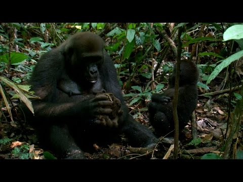 Great ape asymmetric hand ability - The Wonder of Animals: Episode 7 Preview - BBC Four