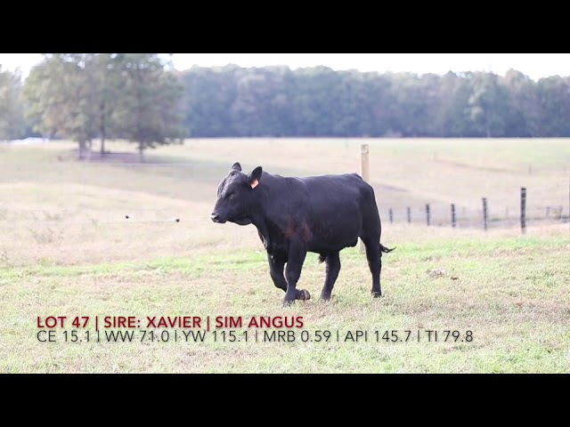Edgewood Angus Lot 47