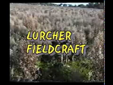 lurcher training/ field craft, from 12 months on part 1